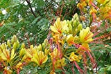 10 seeds Yellow or Desert Bird of Paradise small tree yellow blooms sun- shade xeriscape drought tolerant Zone 8+ Caesalpinia Gilliesii