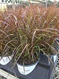 Pennisetum rubrum, Purple Fountain Grass – 1.25 Quart Pot
