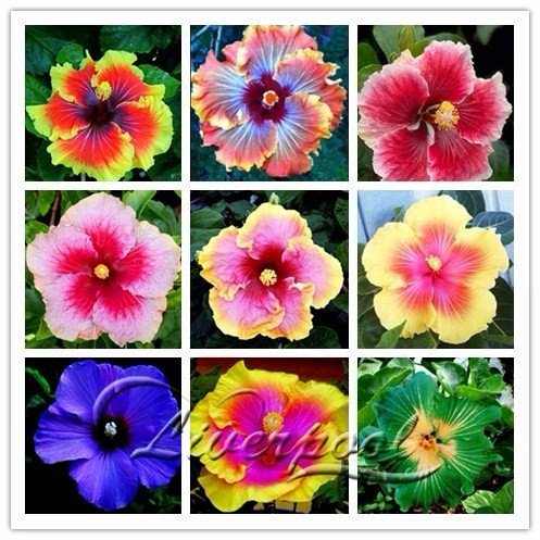 Seeds Market Rare 20 Giant hibiscus flower seeds Hardy look good year round Garden DIY Home Garden flower pot or plant yard
