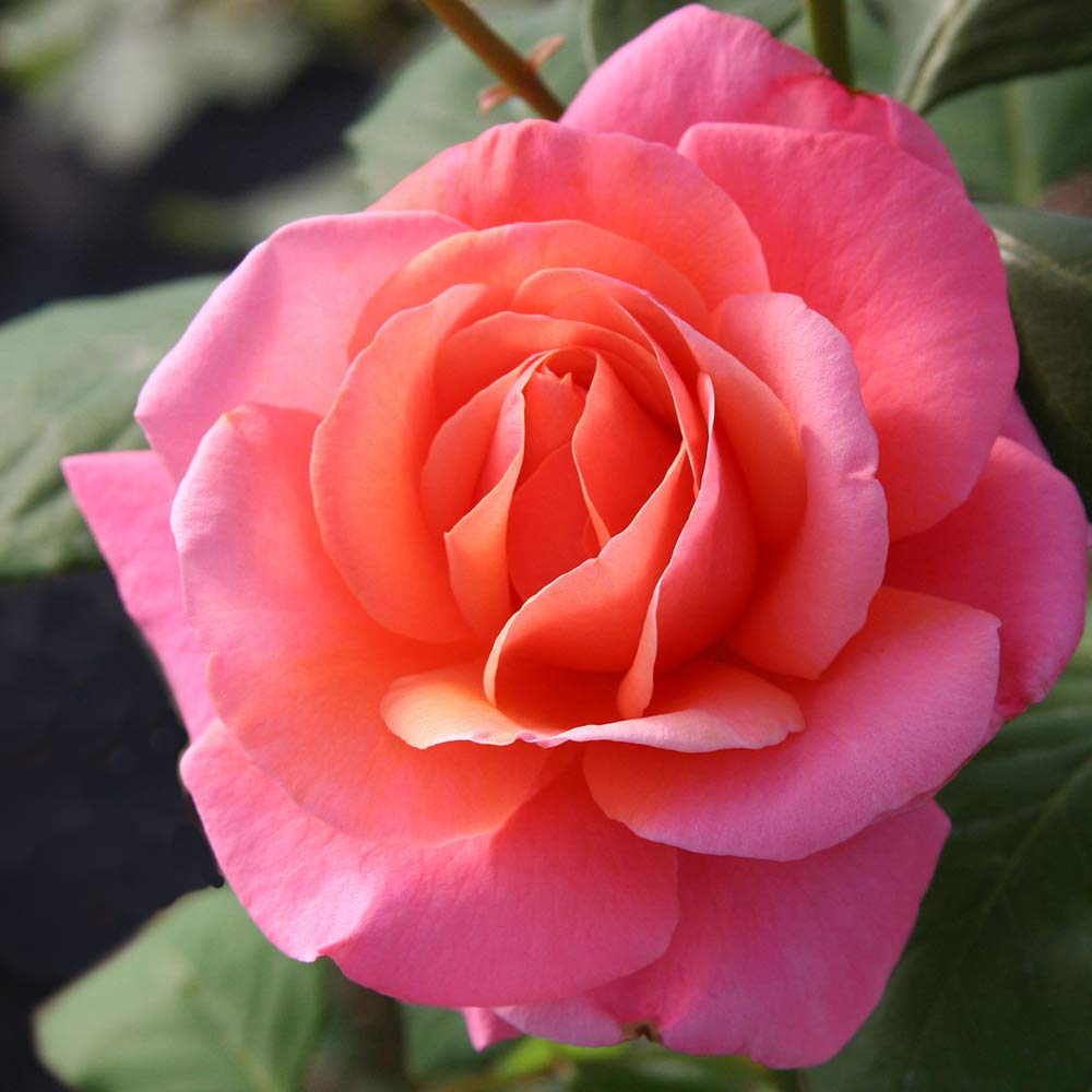 Own-Root One Gallon Fragrant Hour Hybrid Tea Rose by Heirloom Roses by Heirloom Roses (Image #2)