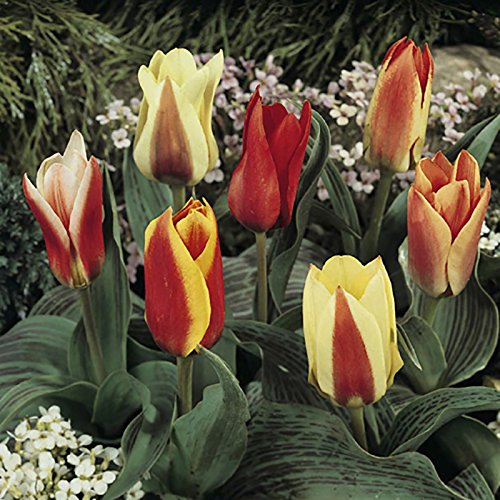 Dwarf Mixed Tulip bulbs (Pack of 50) Yougarden 3_630031