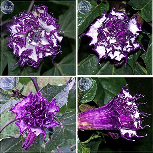 (2018 Hot Sale!! Purple Moon Angel Trumpet Datura/Yellow Datura Metel Flowers, Professional Pack, 20 Seeds, Very Beautiful Flowers E4066)