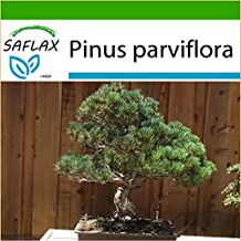 SAFLAX - Bonsai - Japanese White Pine (Pinus parviflora) - 12 seeds - Outdoor Bonsai - With potting soil