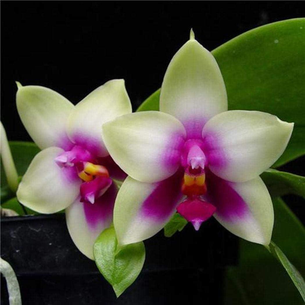 Cioler 100pcs Orchidee Samen Bonsai Pflanzensamen Gartendekoration Bl/ühende Pflanzensamen Blumensamen