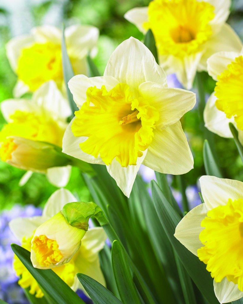 Burpee's Las Vegas Daffodil - 10 Flower Bulbs | White & Yellow | 14cm - 16cm Bulb Diameter