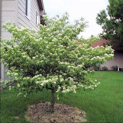 Amazon.com : 50 Pagoda Dogwood Tree Seeds, Cornus Alternifolia ...
