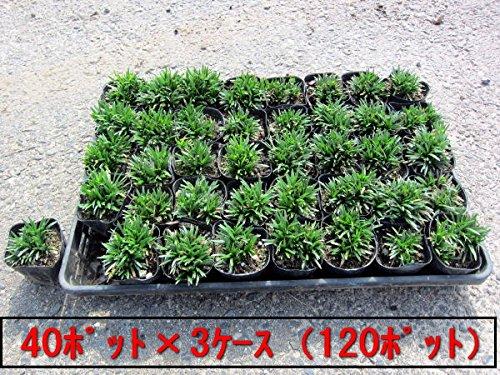 ヒメリュウ(姫竜)ポット 120ポット(40ポット×3ケース)(植え付け方付) B015Z7BABU