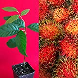 LovelyGarden Red Rambutan Nephelium Lappaceum Florida Plant Tree Seedling 7-12