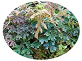 Peacock Rainbow Spikemoss Fern Plant Selaginella Unusual Iridescent Foliage Houseplant or Outdoor Starter Size 4 Inch Pot Emerald TM