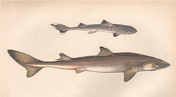 Spiny Dogfish   Amazon Com Piked Dog Spiny Dogfish Spurdog Mud Shark Squalus