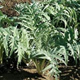 Porto Spineless Cardoon Seeds (Cynara cardunculus) 10+ Rare Seeds + FREE Bonus 6 Variety Seed Pack - a $29.95 Value! Packed in FROZEN SEED CAPSULES for Growing Seeds Now or Saving Seeds For Years