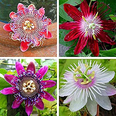 XKSIKjian's Garden 100Pcs Multicolor Passion Flower Seed Ornamental Plant Home Yard Office Decor Non-GMO Seeds Open Pollinated Seeds for Planting - Passion Flower Seeds