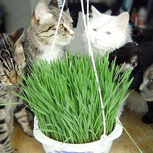 Brand New! Original Pack 220 Seeds / Pack,Triticum aestivum seeds,small catnip seeds kitten wheat grass bonsai,grass seeds kitten
