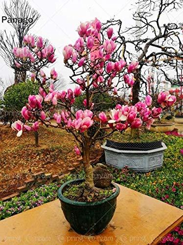 AGROBITS 10PCS Magnolia Bonsai fiore pianta Magnolia Tree seme fiore raro legnoso perenne piante da fiore in vaso per piante giardino di casa 5