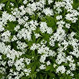 Outsidepride Sweet Woodruff Ground Cover Plant Seed - 200 Seeds