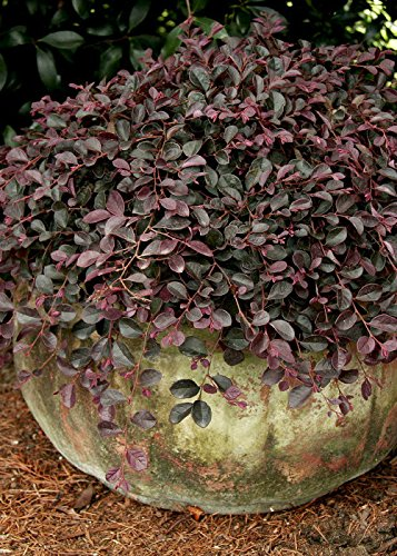 2.5 Qt - Purple Pixie Weeping Loropetalum - Evergreen Ground-cover Shrub with Purple Foliage -