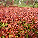 green leaf ®100 evergreen shrubs plant photinia seeds