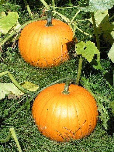 (Sugar Pie - Pumpkin Seeds by Hometown Seeds)