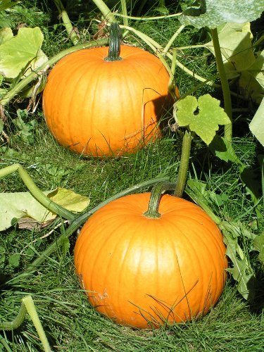 Sugar Pie - Pumpkin Seeds by Hometown Seeds (Pie Sugar Pumpkin)