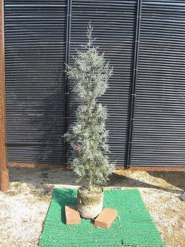 ブルーアイス樹高1.8m前後 綺麗な銀白色葉と独特な形が魅力 B00CHD6WDW