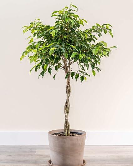 Plantvine Ficus Benjamina Wintergreen Weeping Fig Grande Trenzado Maceta De 8 10 Pulgadas 3 Galones Planta Interior En Vivo Jardín Y Exteriores