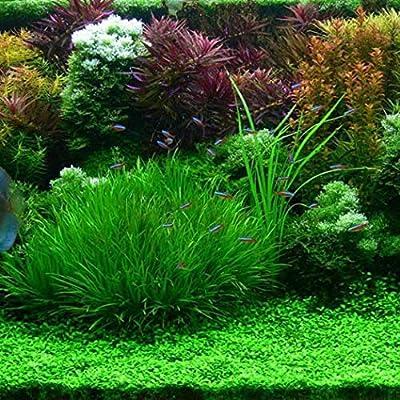 HOTUEEN 100Pcs Rare Water Grass Seeds Bonsai Planting Aquarium Fish Tank Plant Decor Aquatic Plants : Garden & Outdoor