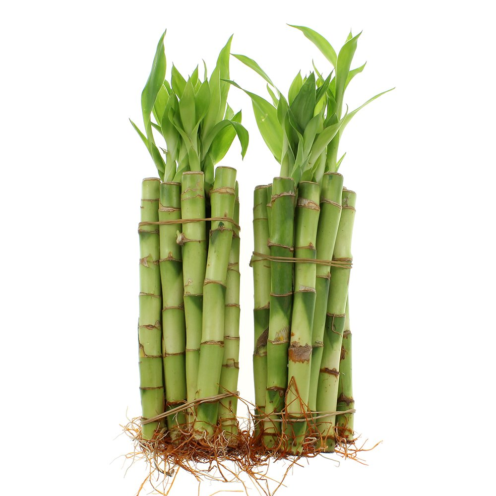 NW Wholesaler - 6'' Straight Lucky Bamboo Bundle of 20 Stalks