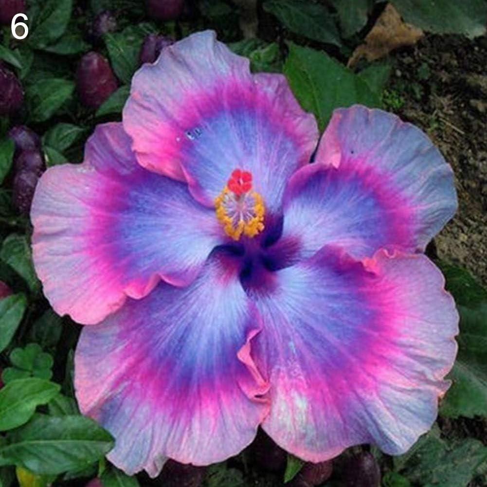 lamta1k 100 Piezas de Semillas de Hibisco Raras exóticas Alta tasa de Supervivencia en el jardín de Flores Ornamentales decoración - 6# Semillas de Hibisco