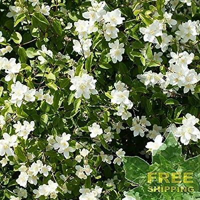 Wild Mock Orange Philadelphus Lewisii - 30 Seeds. : Garden & Outdoor