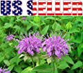 200+ ORGANICALLY GROWN Wild Bergamot Seeds Heirloom NON-GMO Fragrant Mintleaf Bee Balm Oswego Tea Monarda fistulosa menthifolia From USA