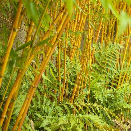 50 fargesia fungosa Seeds Yellow Cold Hardy clumping Bamboo