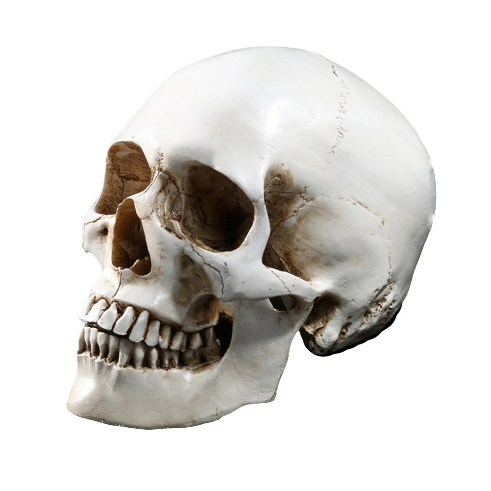 Tinksky Lifesize Human Skull Skeleton Model Réplique de résine Medical Anatomical Tracing Enseignement médical Squelette Halloween Decoration Statue
