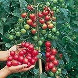[Free Shipping] 30pcs British Cherries Tomato Seeds Garden Plants // 30pcs cerises britanniques tomate graines des plantes de jardin
