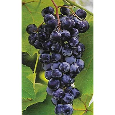 Lumos80 Concord Grape Vines - Purplish Red Seedless Grapes 2 yr Old Bare Root - 3 Plants : Garden & Outdoor