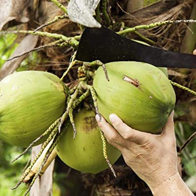 Countia Garden 5pcs Coconut Tree Seeds Garden Courtyard Fruit Plants Trees High Nutrition Juicy Fruit : Garden & Outdoor