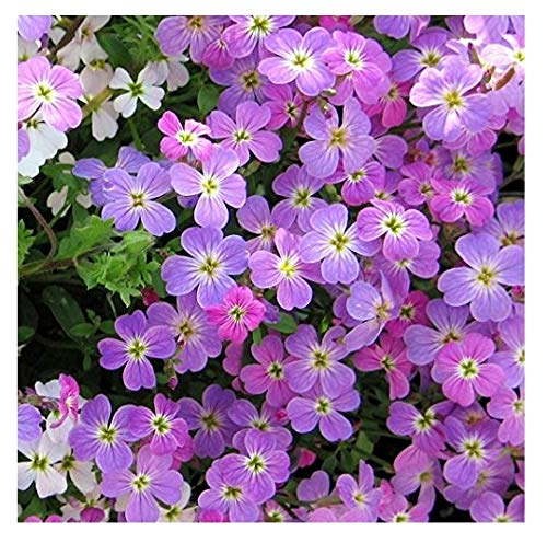 David's Garden Seeds Flower Stock Virginia SL1344 (Purple) 500 Non-GMO, Open Pollinated Seeds