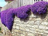 100PCS Creeping Flower Plants - Delaman Thyme Blue Rock CRES Seeds Decor Home Garden Pot (Purple)