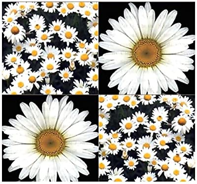 1200 x Shasta Daisy Seed - Chrysanthemum maximum - Shasta Daisy Flower Seeds ~ Perennial BIG WHITE BLOOMS - NATIVE TO WESTERN EUROPE - Hardy Zones 3-9 - By MySeeds.Co