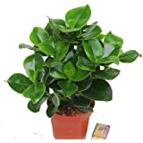 Clusia rosea - Balsamapfel (Zimmerpflanze) - 12 cm Topf - Höhe ca. 35 cm