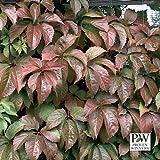 Red Wall Virginia Creeper - Parthenocissus - Proven