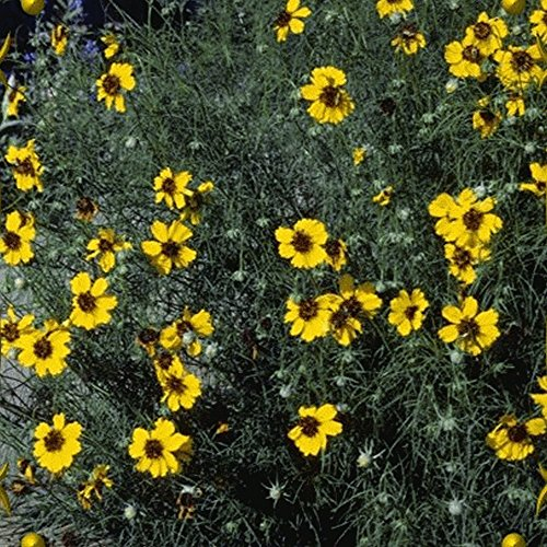 Everwilde Farms - 500 Greenthread Native Wildflower Seeds - Gold Vault Jumbo Seed Packet Love Blooms Seed Packets