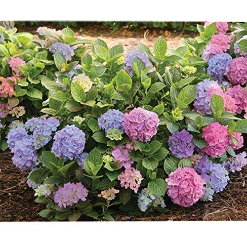 L.A. Dreamin Mophead Hydrangea - Live Plant - Trade Gallon Pot by New Life Nursery & Garden