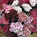 3000 Dianthus Seeds - Sweet William Mix,Winter hardy to USDA Zones 3-9.