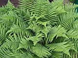 Mini Garden Evergreen Male Fern - Dryopteris filix-mas. 1 Gallon Live Plant. Zones 4-8