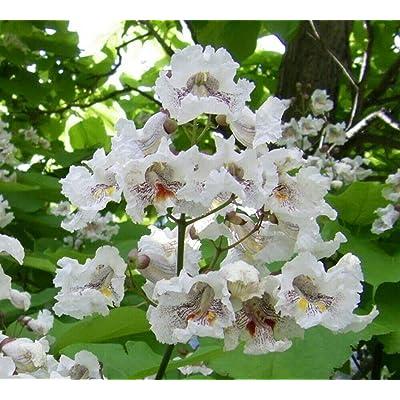 5 - Catalpa Flowering Fish Bait Worm Tree 1-3 ft : Garden & Outdoor