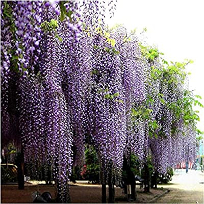 CrazyDeal 20 Pcs Purple adorable nice Flower Fragrant Seeds Fragrant Blooms Chinese Wisteria Vine Tree : Garden & Outdoor