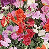 Everwilde Farms - 50 Knee High Mix Sweet Pea Wildflower Seeds - Gold Vault Jumbo Seed Packet