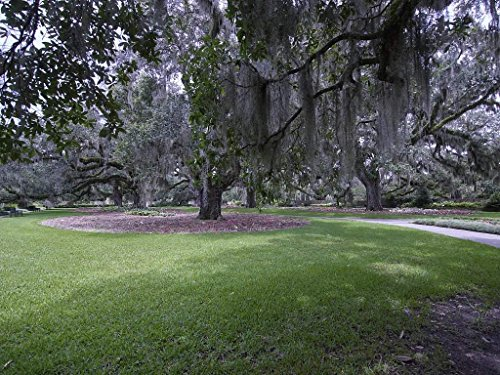 - Photograph | Spanish-moss-draped tree at Brookgreen Gardens, a vast complex of sculpture gardens, ecosystem trails| Fine Art Photo Reporduction 60in x 44in
