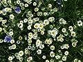 100 White DWARF CREEPING DAISY Chrysanthemum Paludosum Flower Seeds