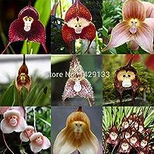Monkey face orchids seed 200 pcs Multiple varieties Bonsai plants Seeds for home & garden Flowers pots planters Beautiful